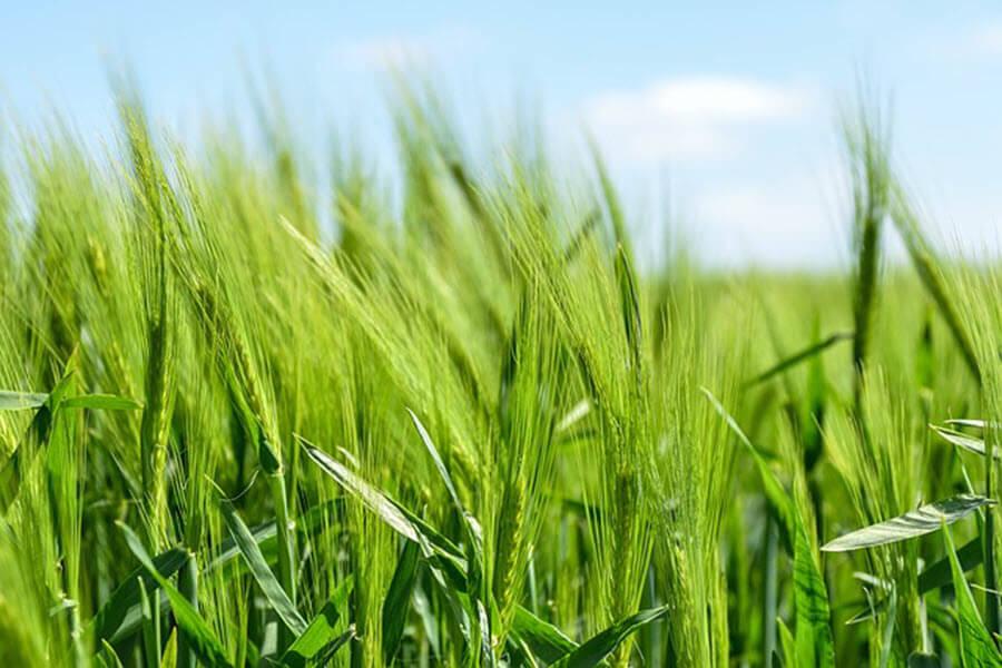 organic-barley-min